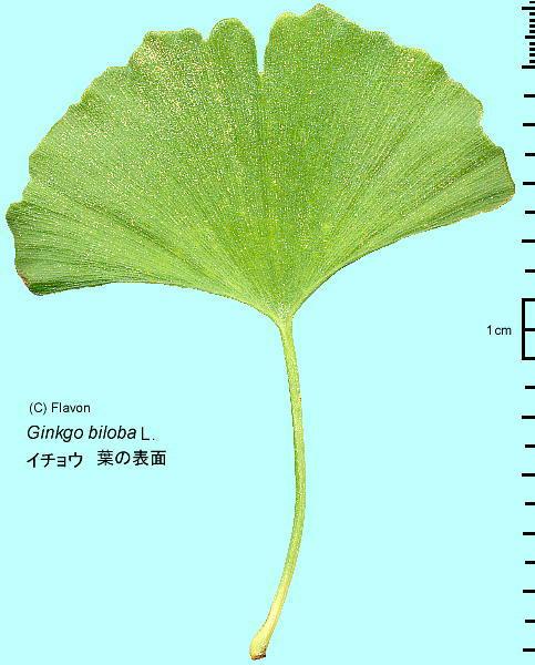 イチョウの画像 p1_32