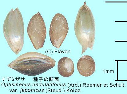 Oplismenus undulatifolius (Ard...