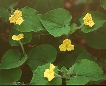 Saruma henryi for Plante 5zema