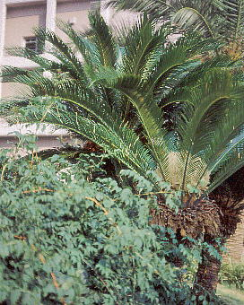 Cycas revoluta : Female ソテツ 雌株