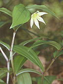 Disporum smilacinum チゴユリ