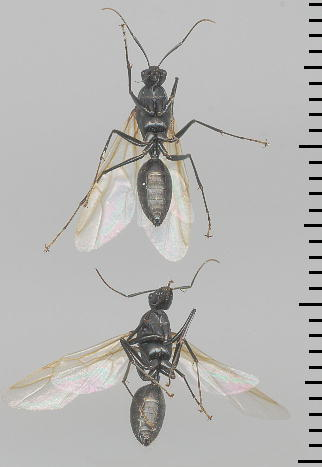 Camponotus japonicus クロオオアリ 雄アリ